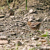Female Eastern (Rufous-sided) Towhee<br /> Busch Wildlife CA<br /> Lake 6