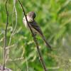 Eastern Phoebe<br /> Busch Wildlife CA<br /> Lake 6