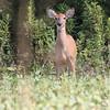 Whitetail Deer<br /> Busch Wildlife CA