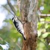 Downy Woodpecker (Female)<br /> Busch Wildlife CA