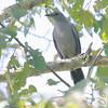 Gray catbird<br /> Busch Wildlife CA