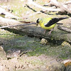American Goldfinch <br /> Busch Wildlife CA