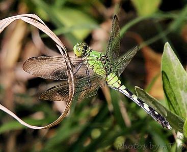 Green Clearwing Busch Wildlife CA