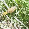 Unknown Tanager sp.<br /> Busch Wildlife CA