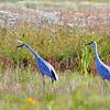 Sandhill Cranes<br /> BK Leach CA
