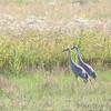 Sandhill Cranes<br /> BK Leach Conservation Area <br /> <br /> No. 130 on my Lifetime List of Bird Species <br /> Photographed in Missouri