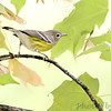 Magnolia Warbler<br /> 1st winter Female<br /> City of Bridgeton <br /> St. Louis County, Missouri <br /> 2006-09-11