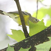 Peek-a-BOO!<br /> Magnolia Warbler<br /> 1st winter Female<br /> City of Bridgeton <br /> St. Louis County, Missouri <br /> 2006-09-11