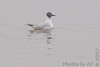 First-cycle Bonaparte's Gull <br /> Riverlands Migratory Bird Sanctuary