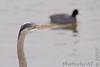 Great Blue Heron & American Coot<br /> Riverlands Migratory Bird Sanctuary