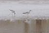 Lesser Yellowlegs <br /> Riverlands Migratory Bird Sanctuary