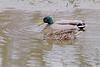 Mallards <br /> Riverlands Migratory Bird Sanctuary