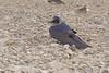 Ellis Island<br /> Riverlands Migratory Bird Sanctuary