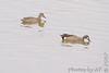 Blue-winged Teal pair<br /> Riverlands Migratory Bird Sanctuary
