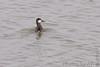 Ruddy Duck (Male)<br /> Riverlands Migratory Bird Sanctuary