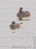 Pied-billed Grebes <br /> Riverlands Migratory Bird Sanctuary
