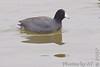 American Coot<br /> Riverlands Migratory Bird Sanctuary