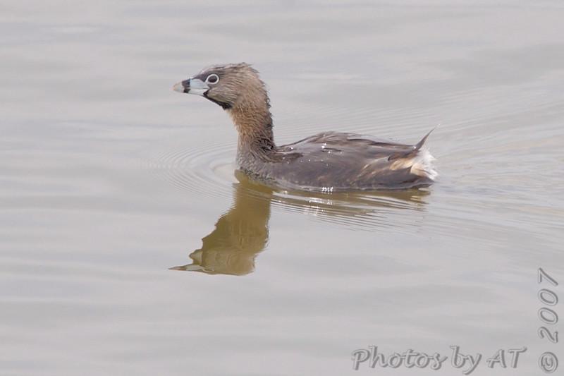 Pied-billed Grebe<br /> Riverlands Migratory Bird Sanctuary