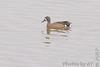Blue-winged Teal<br /> Riverlands Migratory Bird Sanctuary