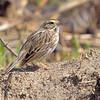 Savannah Sparrow<br /> Eagle Bluffs