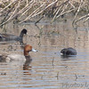 Redhead and American Coots<br /> Eagle Bluffs
