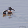 Northern Shoveler<br /> Eagle Bluffs