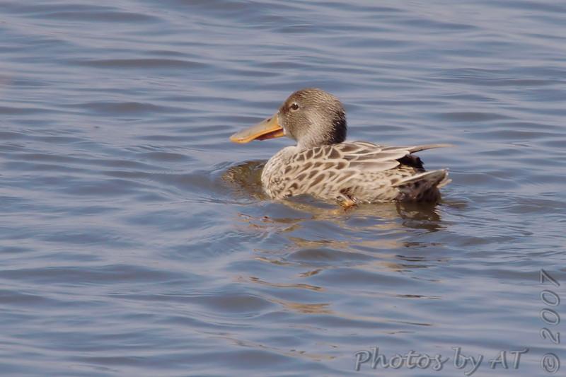 Northern Shoveler (Female)<br /> Eagle Bluffs