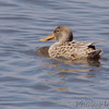 Northern Shoveler (Female)<br /> Eagle Bluffs