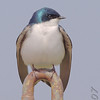 Tree Swallow<br /> Eagle Bluffs