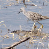 Lesser Yellowlegs <br /> Eagle Bluffs