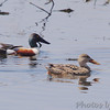Northern Shovelers<br /> Eagle Bluffs
