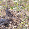 Savannah Sparrow<br /> Bradford Farms