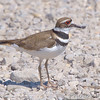 Killdeer<br /> Eagle Bluffs