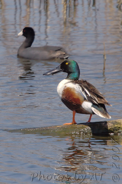 Northern Shoveler and American Coot<br /> Eagle Bluffs