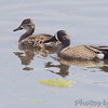 Blue-winged Teal<br /> Eagle Bluffs