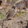 Savannah Sparrow<br /> Eagle Bluffs
