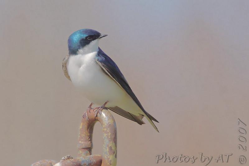 Tree Swallow<br /> Eagle Bluffs