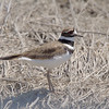 Killdeer<br /> Missouri Bottoms
