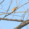Eastern Bluebird<br /> St. Stanislaus Conservation Area
