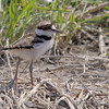 baby Killdeer<br /> Missouri Bottoms
