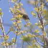 Eastern Kingbird<br /> St. Stanislaus Conservation Area