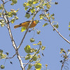 Baltimore Oriole<br /> Missouri Bottoms