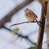 Field Sparrow <br /> St. Stanislaus Conservation Area