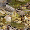 Louisiana Waterthrush<br /> Castlewood State Park