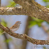 Chipping Sparrow <br /> Rockwoods Reservation
