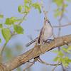 Blue-gray Gnatcatcher<br /> Castlewood State Park