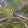 Yellow-throated Warbler<br /> Rockwoods Reservation
