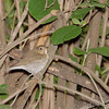 Swainson's Thrush <br /> Tower Grove Park <br /> <br /> No. 165 on my Lifetime List of Bird Species <br /> Photographed in Missouri