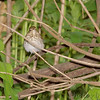 Swainson's Thrush <br /> Tower Grove Park
