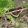 Giant Swallowtail <br /> Tower Grove Park